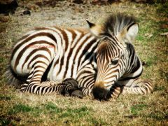 Baby Zebra - Amanda's Update